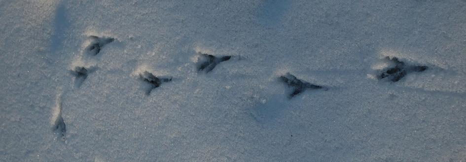 Bird tracks in snow.
